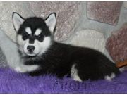Registered blue eyes  male and female siberian husky puppies