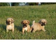 Puggle Puppies for sale now!
