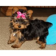 Loving Teacup Yorkie puppies  for a happy home