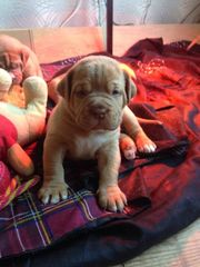 Gorgeous Dogue De Bordeaux Babies 1 Male Left