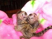 CNNC  pygmy marmoset Capuchin monkeys for sale