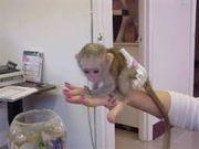 BNNVH65  Adorable Twin Pygmy Marmoset and Capuchin 07031957695