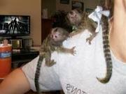 GFT Adorable Twin Pygmy Marmoset and Capuchin 07031957695