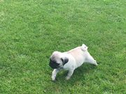 Kc Registered Male Fawn Pug