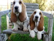Basset Hounds puppies for sale.