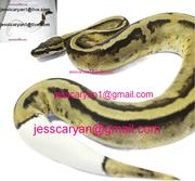 king-snake Ball , Piebald and Albino pythons for adoption