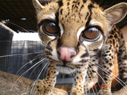 Ocelots kittens  ,  Cheetah cubs ,  serval and margay kittens for sale