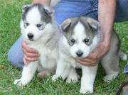 companion siberian husky puppies for sale  in Aberdeen