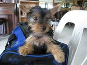 Registered Teacup Yorkshire Terrier Puppies